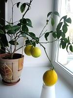 У нас на подоконнике лимон зеленый рос