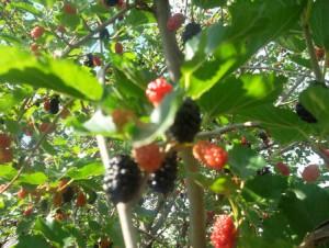 Шелковица, или тютюна - очень вкусная ягода