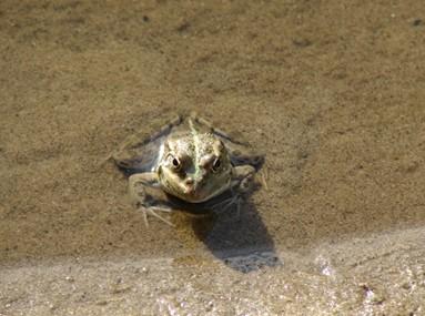 лягушка в воде