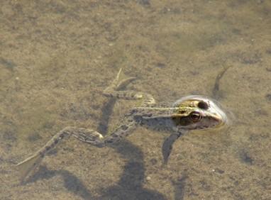 водяная лягушка