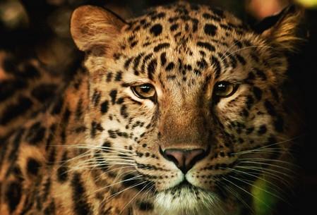 загадки о животных. Леопард