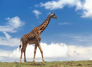 загадки про жирафа