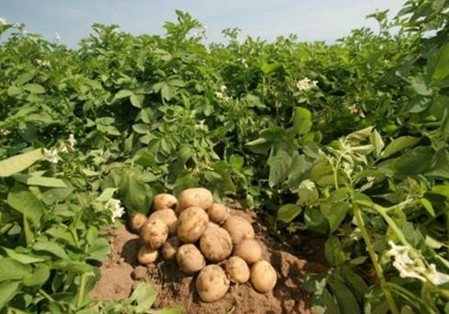 загадки про овощи. Картофель