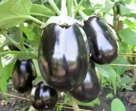 загадки про овощи. баклажан