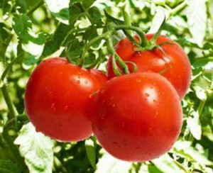 загадки про овощи. помидор