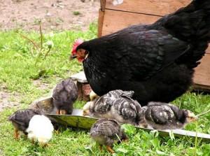 загадки про птиц, Курица