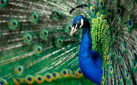 загадки про птиц, Павлин