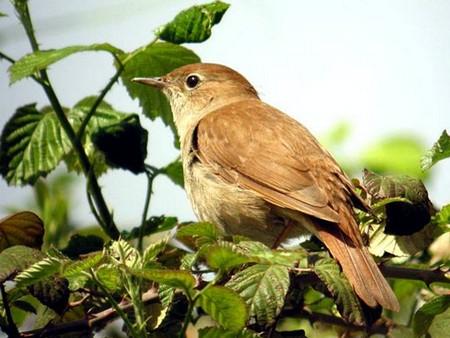 загадки про птиц, Соловей