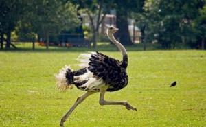 загадки про птиц, Страус