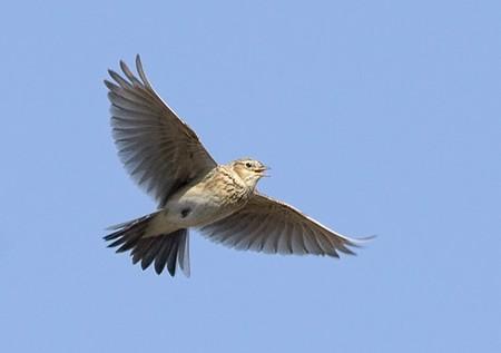 агадки про птиц, Жаворонок