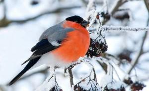 загадки про птиц, снегирь