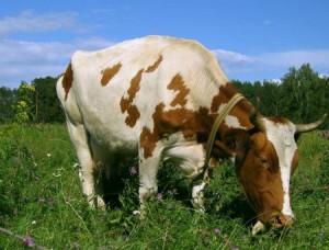 загадки для детей 4 лет про корову