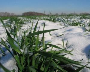 Зимний снег - осенний хлеб
