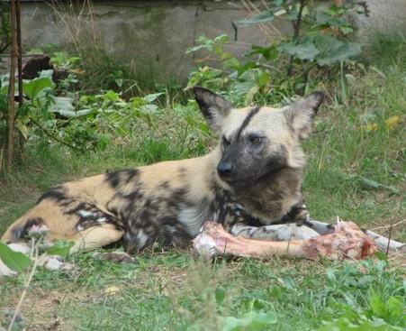 Гиеновая собака - родственница красного волка