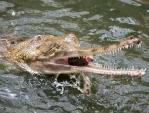 гавиал - один из самых медленных крокодилов