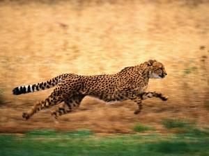 гепард - самое самое быстрое животное в мире