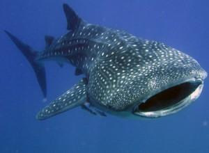 китовая акула плавает очень медленно
