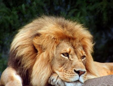 лев - самый ленивый хищник