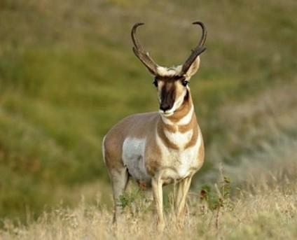 вилорог - самое самое быстрое животное в беге на большие расстояния