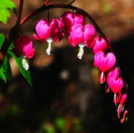 Цветы самые самые яркие. Дицентра великолепная