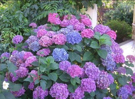 Цветы самые самые. гортензии