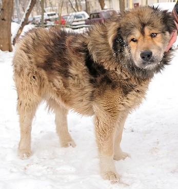 лохматый пес