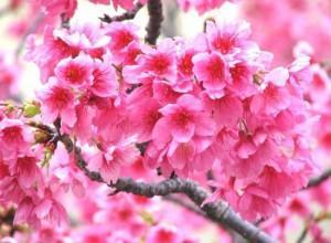 сакура. символ Японии