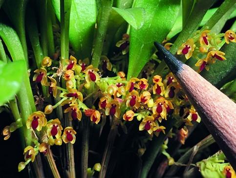 цветы самые-самые Орхидея Platystele genus