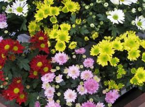 цветы самые самые. Хризантема