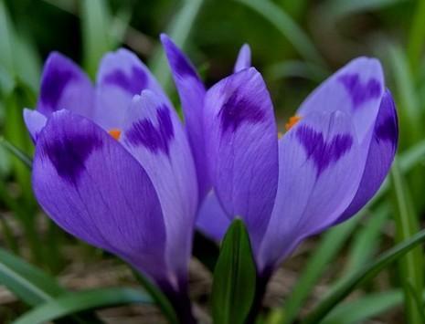 цветы самые самые. Крокусы