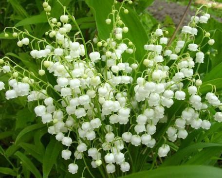 цветы самые самые. Ландыш