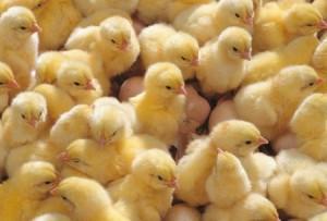 загадка про цыплят