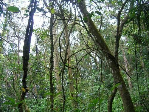 лиана в тропическом лесу