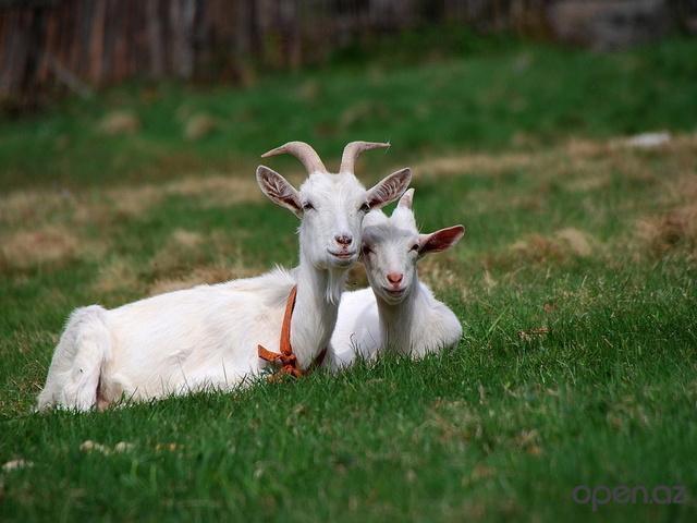 стих про козу и козла