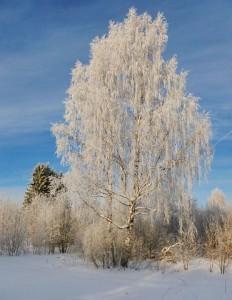 березы зимой