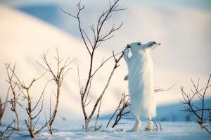 как зимуют зайцы