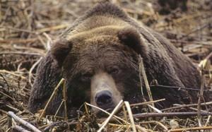 медведь устраивает себе берлогу