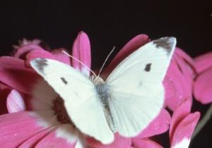 стихи про белую бабочку