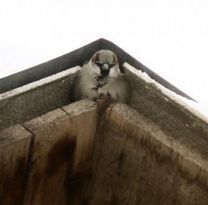 воробей живет под крышей