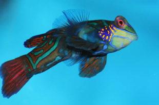 Рыба, похожая на мандаринку
