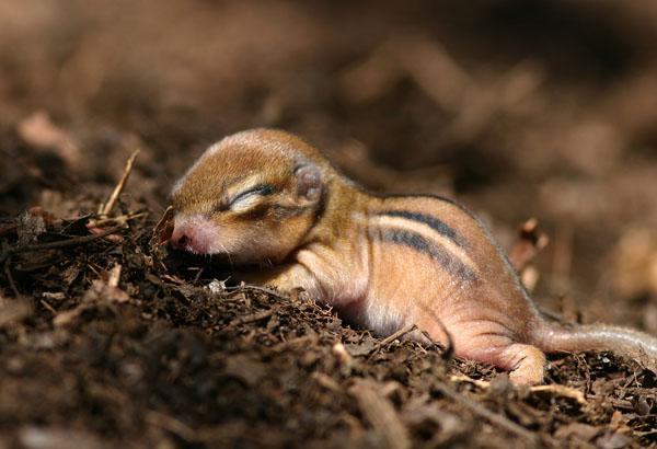 Новорожденный бурундучок