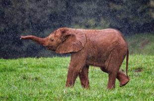 слоненок под дождем