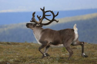 Северный олень самый быстрый на свете
